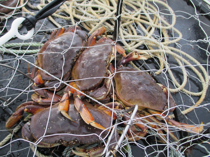Cooking Alaskan Dungeness Crab